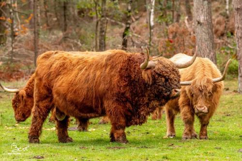 Boaz. De stier van de kudde Schotse hooglanders op de Wezepsche Heide.