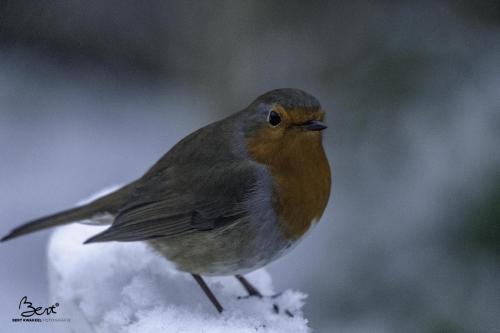 In de eerste sneeuw van deze winter