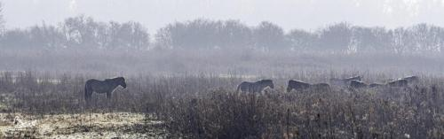 Konikpaarden in de ochtendnevel.