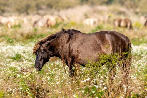 Konikpaard in de Oostvaardersplassen.