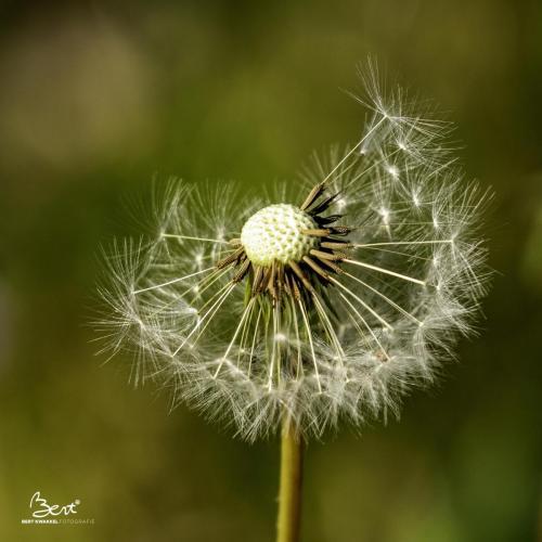 Dandelion / paardebloem