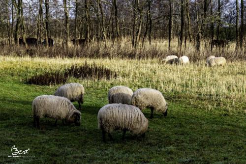 Aparte schapen