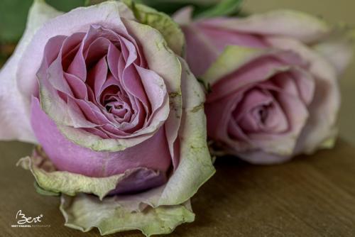 Uitgebloeide roos