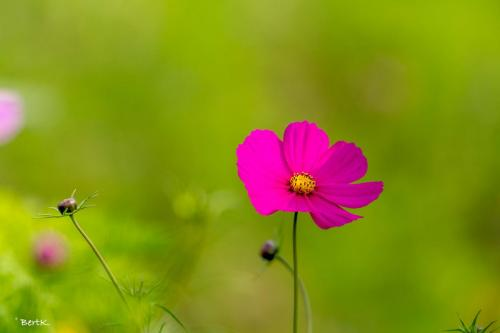 Wilde anemone
